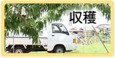 丸章青果 有限会社丸章青果 桃の収穫 手作業 旬な桃 食べごろ
